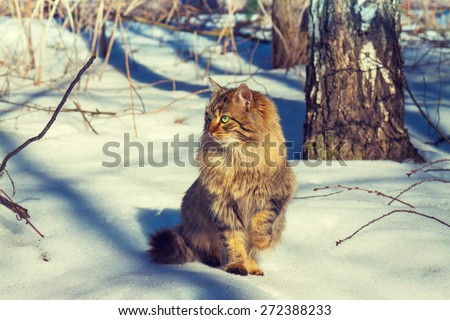Cute siberian cat walking in the snowy forest   - stock photo