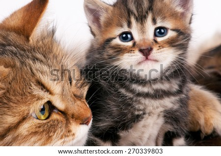 Cute siberian cat with little kitten with focus on the kitten over white background  - stock photo