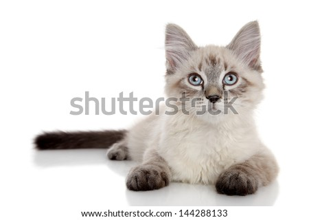 Cute Siberian color-point kitten lying on a white background - stock photo