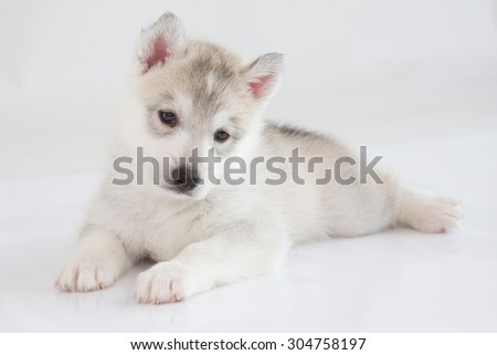 Cute Siberian husky laying on white background - stock photo