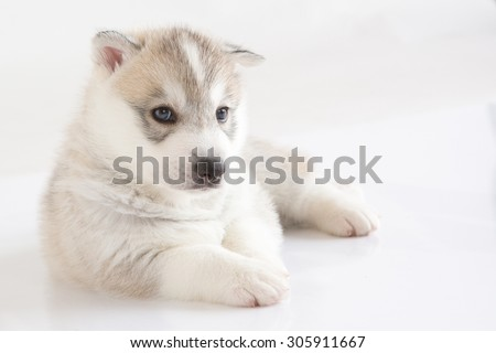 Cute Siberian Husky puppy on white background - stock photo