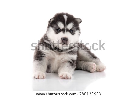 Cute siberian husky puppy on white background isolated - stock photo