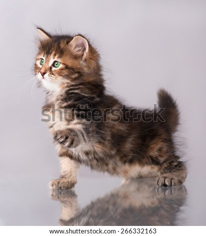 Cute siberian kitten with the raised pad over grey background - stock photo