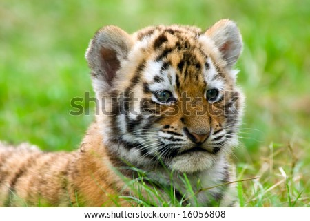 cute siberian tiger cub (Tiger Panthera tigris altaica) - stock photo