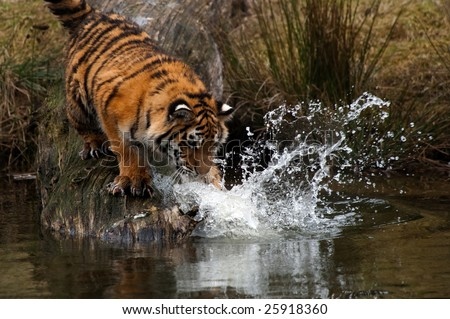 Cute Siberian tiger cub trying to catch some fish (Panthera tigris altaica) - stock photo