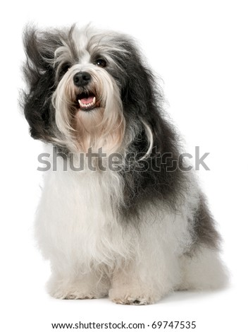 Cute sitting Havanese dog is looking up. Isolated on a white background - stock photo