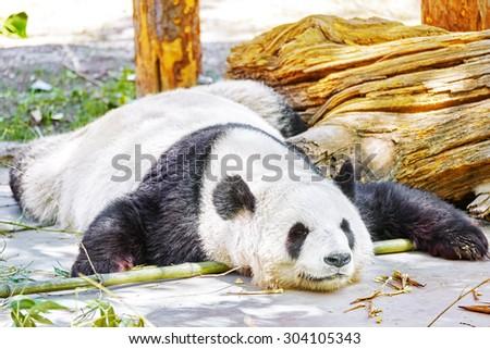 Cute sleeping panda in its natural habitat. - stock photo