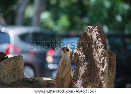 cute Slender-Tailed Meerkats standing upright in the zoo - stock photo