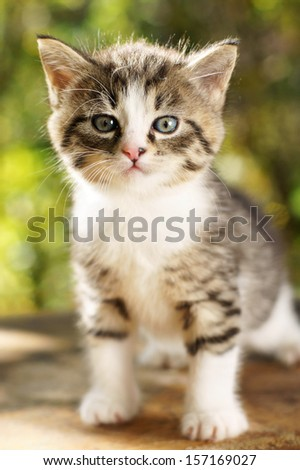 cute small gray kitten with beautiful striped color, white breast and paws against green summer bokeh background. portrait with shallow depth of field - stock photo