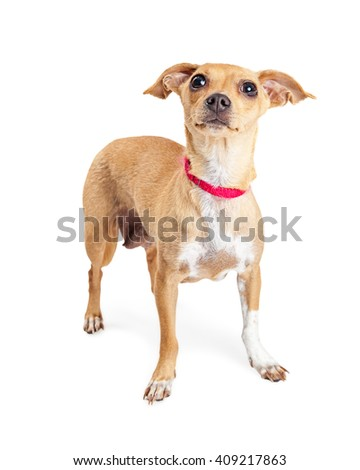 Cute small mixed breed dog standing over white looking up - stock photo