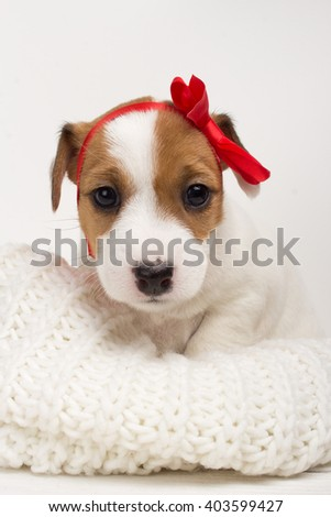 Cute small puppy female dog with red bow on her head - stock photo