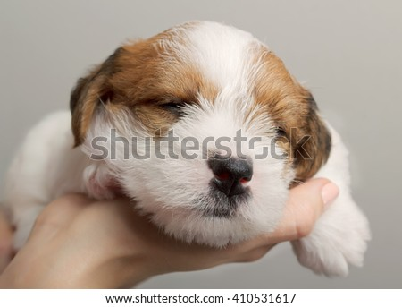 Cute small sleeping puppy dog in human hands. Pet sleeping. Tired dog. Young animal.  - stock photo
