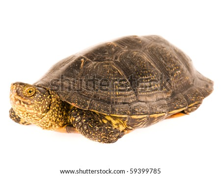 Cute small turtle isolated on white background - stock photo