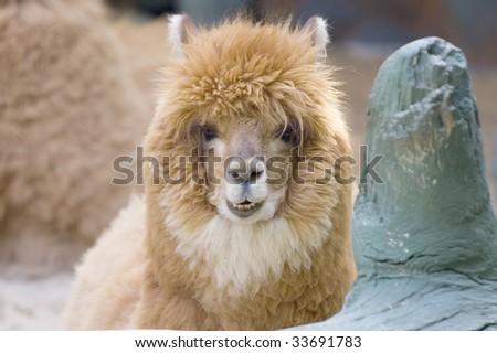 Cute Smiling Alpaca - stock photo