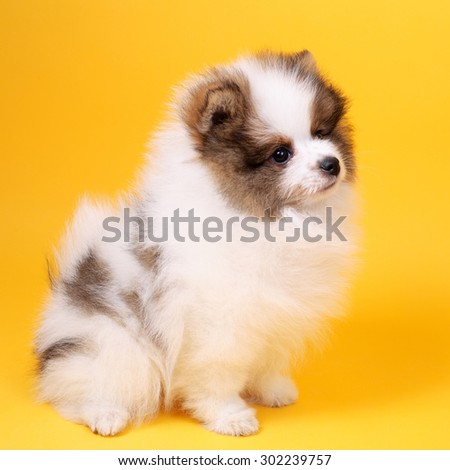 cute smiling little spitz puppy closeup - stock photo