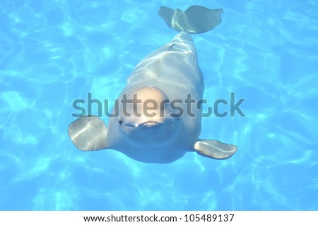 Cute smiling white whale swims in a pool under water - stock photo