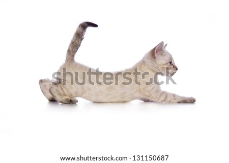 Cute Snow Bengal kitten stretching out with tail up side view solated on white background - stock photo