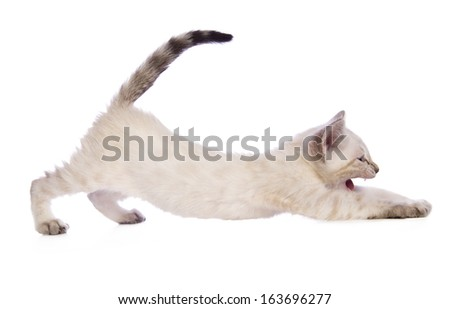 Cute Snow Bengal kitten stretching out with tail up sideview solated on white background - stock photo