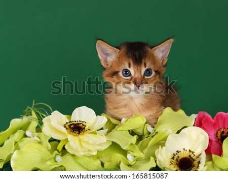 Cute somali kitten on the green background with flowers - stock photo Usual Abyssinian Kittens