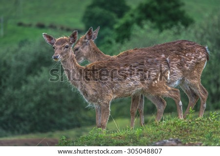 Cute spotted fallow deers - stock photo
