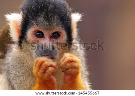 Cute Squirrel monkey (Saimiri) - stock photo