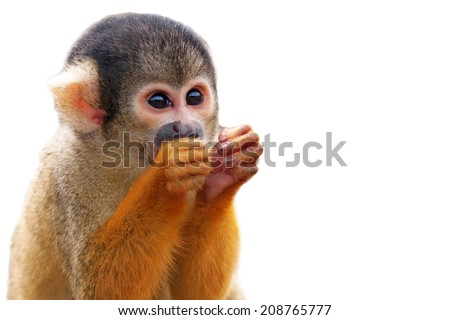 Cute Squirrel monkey (Saimiri) - Isolated on white background - stock photo