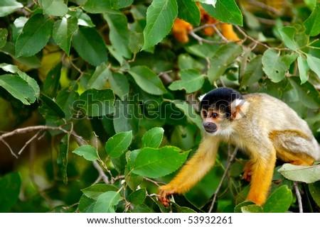 Cute Squirrel Monkey (Saimiri) Sub family: (saimirlinae) in Rurrenabaque Jungle Tour - stock photo