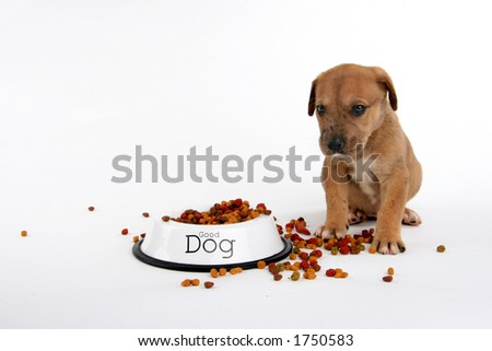 cute St. Bernard/Great Dane puppy waiting to eat - stock photo