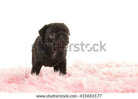 Cute standing black pug puppy dog looking up on a pink fur on a white background - stock photo