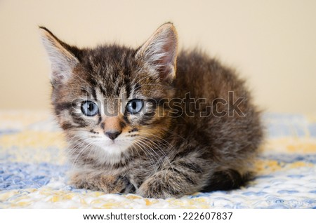 Cute striped cat on a blue and yellow blanket - stock photo