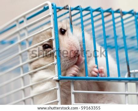 cute syrian hamster - stock photo
