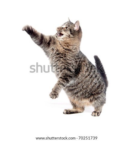 Cute tabby cat swinging its paw and playing on white background - stock photo