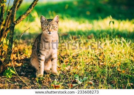 Cute Tabby Gray Cat Kitten Pussycat Sitting In Grass Outdoor In Sunny Summer Evening - stock photo