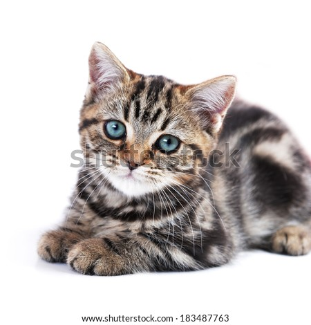Cute  tabby kitten laying down  - stock photo