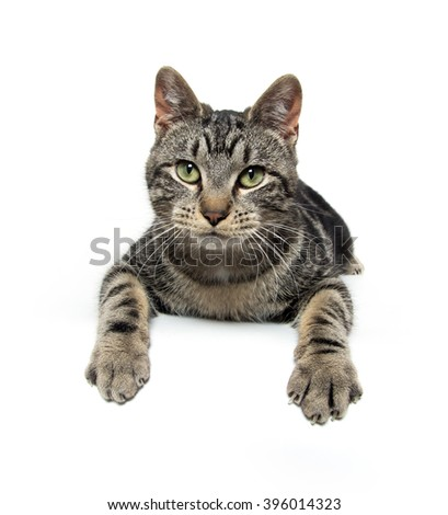 Cute tabby kitten laying down with paws over edge of table on white background - stock photo