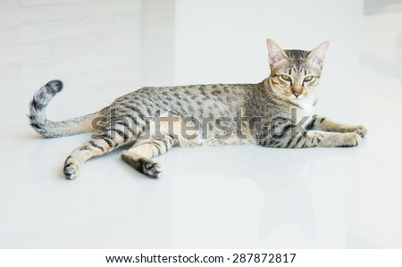 Cute tabby kitten looking Lying on the tiles - stock photo