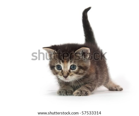 cute tabby kitten plays with blue string of yarn on white background - stock photo