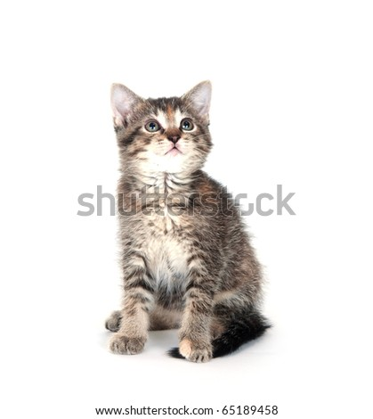 Cute tabby kitten sitting on white background and looking up - stock photo