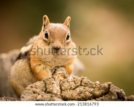 Cute tame and friendly chipmunk posing for camera with a quizzical expression - stock photo