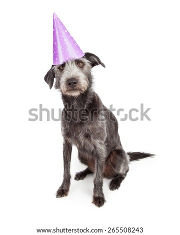 Cute terrier dog wearing purple birthday party hat  - stock photo