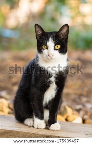 cute thai cat  - stock photo