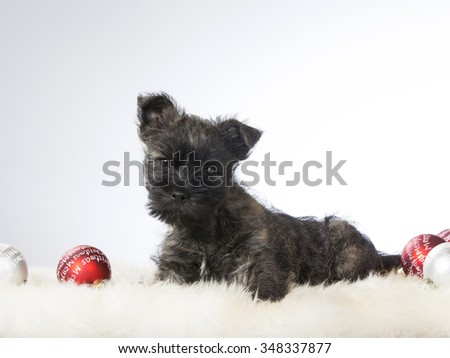 Cute tiny terrier puppy in a portrait next to Christmas ornaments. Image taken in a studio. - stock photo