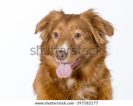 Cute toller girl in a studio. The dog breed is Nova Scotia duck tolling retriever. The dog is sitting nicely in a studio. - stock photo