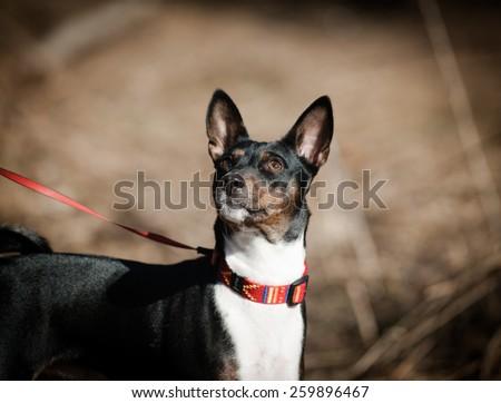 Cute tricolor basenji dog - stock photo