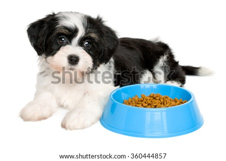 Cute tricolor Bichon Havanese puppy dog is lying next to a blue bowl of dog food - isolated on white background - stock photo