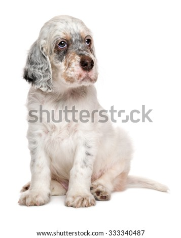 Cute tricolor english setter puppy dog is sitting in front of white background - stock photo
