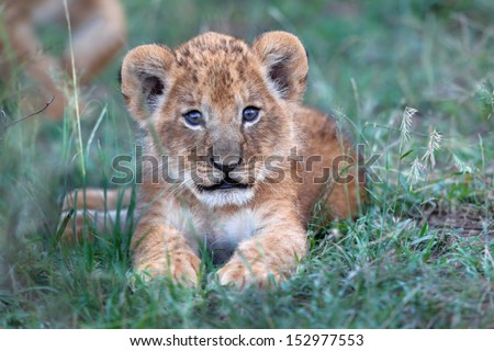 Cute two week old baby Lion from Rekero Pride in Masai Mara, it still has the birth eye color. - stock photo