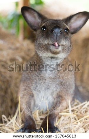Cute wallaby - stock photo