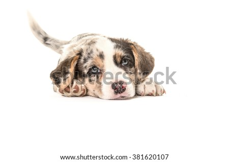 Cute welsh corgi puppy dog lying down and wagging its tail isolated on a white background - stock photo