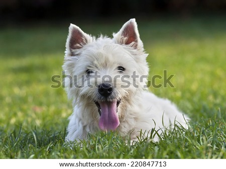 Cute West Highland White Terrier puppy looking  in the grass - stock photo